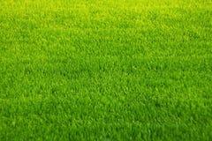 绿草背景  令人惊讶的草纹理 r 公园草坪纹理 库存图片