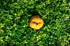 绿草自然本底用柑橘 顶视图 免版税库存图片