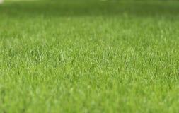 绿草草坪特写镜头  免版税库存照片