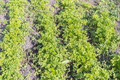 绿草荷兰芹在庭院里 岩芹crispum -在地面特写镜头的卷曲荷兰芹 库存照片