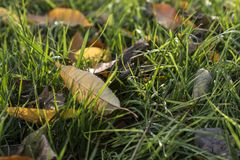 绿草被放置的黄色叶子 免版税库存照片