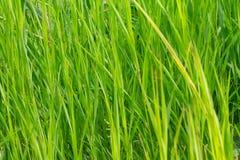 绿草 自然本底纹理 免版税库存照片
