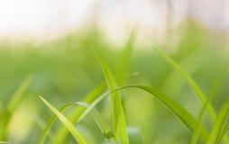 绿草 免版税库存图片