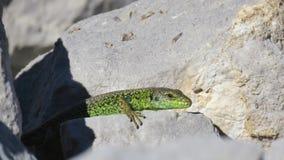 绿蜥蜴岩石 库存图片
