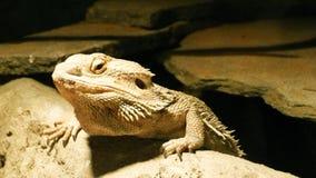 绿蜥蜴蜥蜴蜥蜴本质上 库存照片