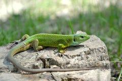 绿蜥蜴蝎虎座viridis 库存图片