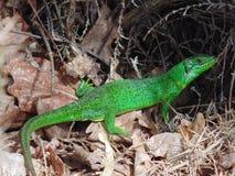 绿蜥蜴-蝎虎座bilineata 免版税库存图片