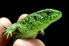 绿蜥蜴 库存照片