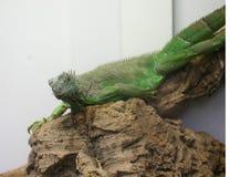 绿蜥蜴 免版税图库摄影