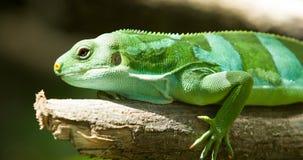 绿蜥蜴 库存图片