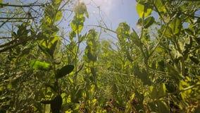 绿豆在领域增长反对蓝天和发光入照相机的太阳 看法从底部到上面 影视素材