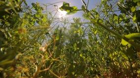 绿豆在领域增长反对蓝天和发光入照相机的太阳 看法从底部到上面 股票视频
