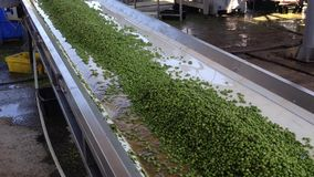 绿豆的生产的运作的过程在罐头工厂的 洗涤在水中的成熟绿豆在保存前 股票视频
