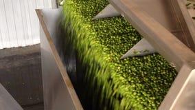 绿豆的生产的运作的过程在罐头工厂的 洗涤在水中的成熟绿豆在保存前 在的运动 股票视频
