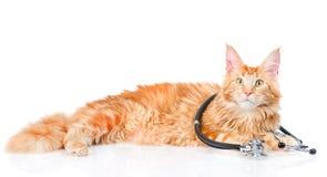 缅因与听诊器的树狸猫 背景查出的白色 免版税库存照片