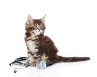 缅因与看的听诊器的树狸猫  查出在白色 免版税库存图片