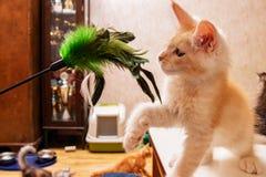 缅因使用与猫的一个玩具的浣熊小猫 免版税库存图片