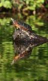 缅因反映乌龟 免版税库存照片