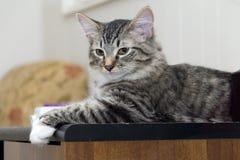 缅因在书桌上的树狸猫 免版税库存图片