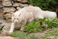 缅因在岩石的树狸猫 免版税库存照片