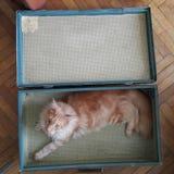 缅因在手提箱里面的树狸猫 免版税库存图片
