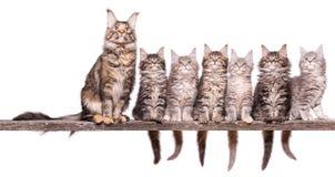缅因在白色的浣熊小猫 免版税库存照片