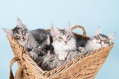 缅因在篮子的浣熊小猫 免版税库存图片