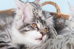 缅因在篮子的浣熊小猫 免版税图库摄影