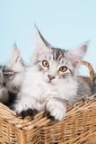 缅因在篮子的浣熊小猫 图库摄影