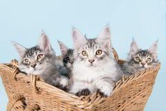 缅因在篮子的浣熊小猫 免版税库存照片