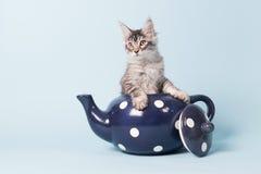 缅因在茶罐的浣熊小猫 库存照片