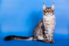 缅因在蓝色背景的树狸猫 库存图片