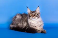 缅因在蓝色背景的树狸猫 免版税图库摄影