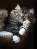 缅因小睡的树狸猫 免版税库存照片