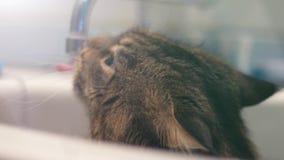 缅因树狸猫从起重机下面喝水 1920x1080 免版税图库摄影