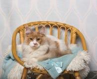 缅因树狸猫坐椅子在演播室,画象 免版税库存图片