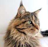 缅因树狸猫褐色平纹 免版税库存图片
