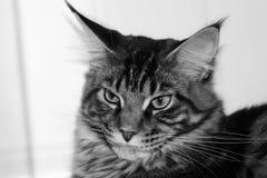 缅因树狸猫 免版税库存照片
