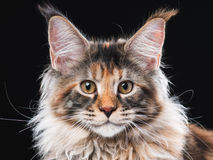 缅因树狸猫 免版税图库摄影