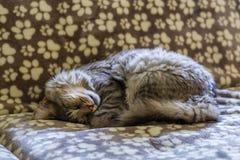 缅因树狸猫 免版税库存图片