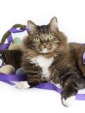 缅因浣熊与复活节篮子的混合猫 免版税库存图片