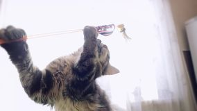 缅因浣熊使用在慢动作的平纹小猫与透镜对太阳背景的火光作用 1920x1080 股票视频