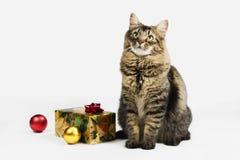 缅因浣熊圣诞节猫 免版税库存照片