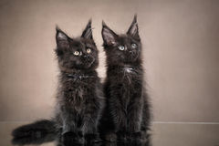 缅因浣熊在颜色背景的小猫画象 免版税库存图片