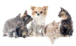 缅因浣熊小猫和奇瓦瓦狗 库存图片