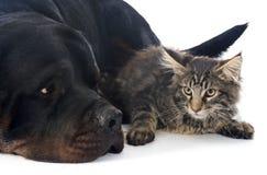 缅因浣熊小猫和rottweiler 免版税库存图片