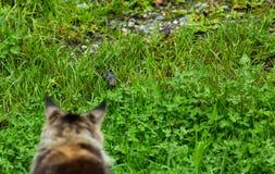 缅因浣熊狩猎老鼠 免版税库存照片