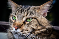 缅因浣熊黑色与绿色的虎斑猫特写镜头  免版税图库摄影
