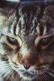 缅因浣熊黑色与绿色的虎斑猫特写镜头  免版税库存照片