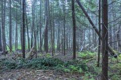 缅因的密集的杉木森林 免版税库存图片